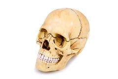 голова черепа изолированная на белой предпосылке Стоковая Фотография RF