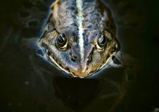 Голова лягушки Стоковые Изображения