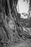 Голова B/W старая Будды внутри дерева Стоковое Изображение RF