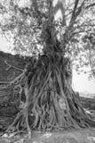 Голова B/W старая Будды внутри дерева Стоковая Фотография