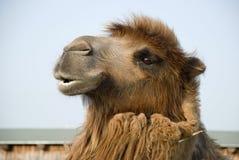 Голова Bactrian верблюда Стоковые Изображения RF