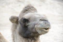 Голова Bactrian верблюда Стоковое Изображение RF