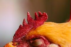 Голова Chook Стоковое Изображение RF
