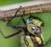 Голова Dragonfly стоковая фотография