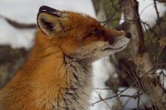 Голова Fox стоковые фотографии rf