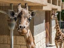 голова iraffe на зоопарке Стоковое Фото