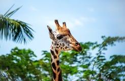 Голова ` s жирафа на длинной шеи на предпосылке зеленых деревьев на солнечный день Горизонтальная рамка Стоковые Изображения RF