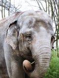 головка азиатского слона Стоковая Фотография