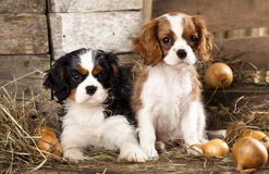 головка бульдога раскосная французская смотря усаживание 6 старого щенка бортовое к неделям Стоковое фото RF
