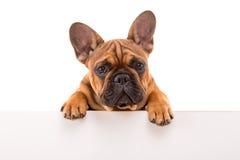 головка бульдога раскосная французская смотря усаживание 6 старого щенка бортовое к неделям Стоковое Изображение RF