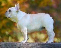 головка бульдога раскосная французская смотря усаживание 6 старого щенка бортовое к неделям Стоковая Фотография RF