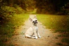 головка бульдога раскосная французская смотря усаживание 6 старого щенка бортовое к неделям Стоковые Изображения