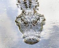 аллигатор годовалого 60+ Стоковая Фотография