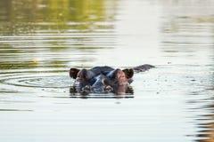 Головка гиппопотама в воде Стоковое Изображение
