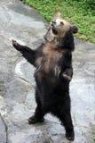 головка коричневого цвета медведя предпосылки изолированная как белизна взгляда sore Стоковые Фотографии RF