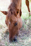 Головка коричневой лошади Стоковое Изображение