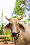 головка коровы Стоковое фото RF