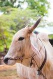 головка коровы Стоковое Фото