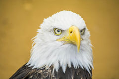 Головка облыселого орла Стоковые Изображения