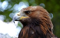 Головка орла Стоковая Фотография RF
