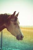 Головка лошади Стоковые Фотографии RF