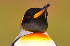 Головка пингвина Птица от Фолклендских островов Портрет детали пингвина короля в Антарктике Стоковое Изображение RF