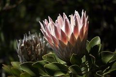 Головка цветка короля Protea Стоковая Фотография