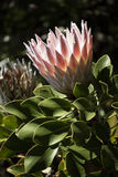 Головка цветка короля Protea Стоковое Изображение RF