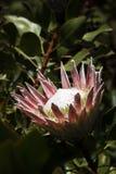 Головка цветка короля Protea Стоковое фото RF