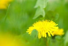 Желтый одуванчик стоковые изображения
