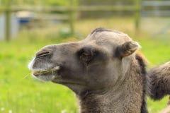 головка bactrian верблюда Стоковое Изображение