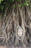 Головка Wat Mahathat Будды в дереве, Ayutthaya Стоковое Изображение