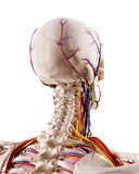 Головная анатомия Стоковая Фотография RF