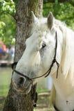 головная белизна лошади Стоковое фото RF