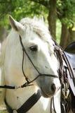 головная белизна лошади Стоковые Изображения RF