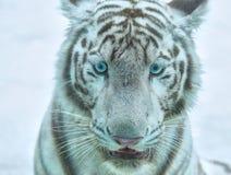 головная белизна тигра стоковые фотографии rf