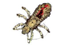 Головная вошь - capitis Pediculus, изображение микроскопа Стоковые Изображения