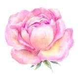 Головная розовая картина акварели роз Раскройте цветок на белизне назад Стоковое Изображение