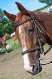 Головная скаковая лошадь Стоковое фото RF