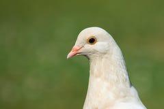 Головная съемка белого Pidgeon Стоковое Фото