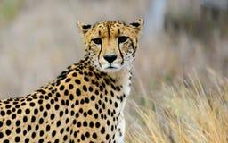 Головная съемка гепарда Стоковые Фото