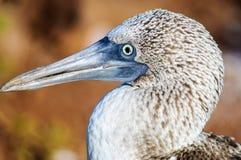 Головная съемка голубого Footed олуха Стоковые Фото