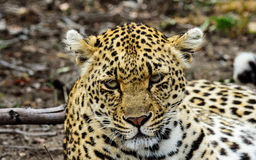 Головная съемка женского леопарда Стоковое Изображение