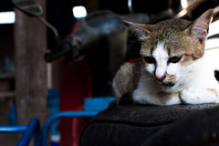 Головная съемка кота портрет кота на предпосылке нерезкости Стоковая Фотография RF