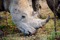 Головная съемка носорога Стоковые Изображения RF