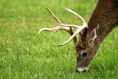 Головная съемка пасти оленей (самец оленя) Стоковое фото RF