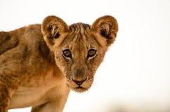 Головная съемка пытливого новичка льва Стоковая Фотография RF