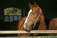 Головная съемка чистоплеменной лошади Стоковая Фотография RF