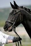Головная съемка чистоплеменной черноты покрасила молодую лошадь Стоковые Фото