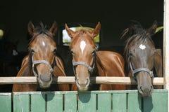 Головная съемка чистоплеменных лошадей Стоковые Фотографии RF